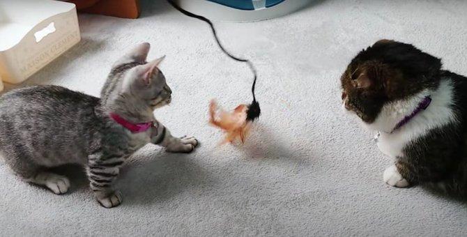 元気いっぱい子猫と、元気が良すぎる子猫にやる気を失った先輩猫