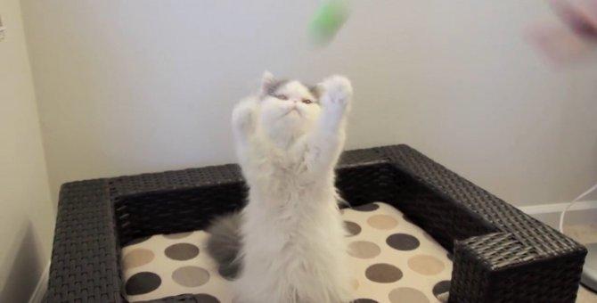 ふわふわにゃんこが、ボールをふわふわとキャッチ!