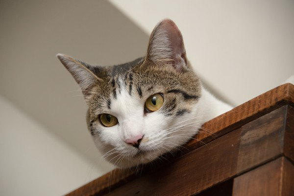 猫はどうして高い場所が好き?4つの心理
