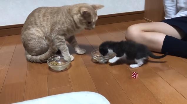 「そっちのご飯がいいニャ!」横取りしちゃう子猫ちゃん♪