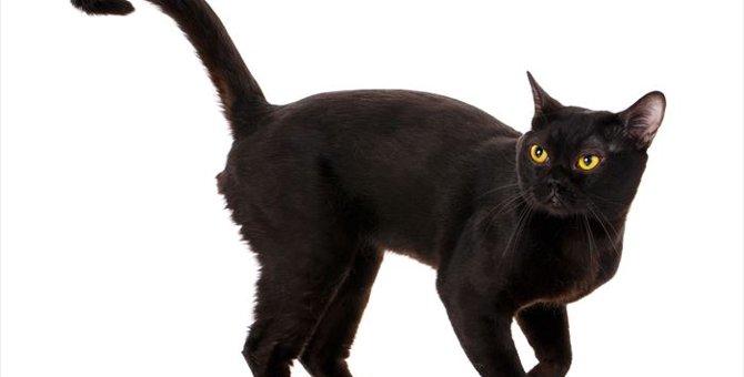 黒猫ボンベイの特徴と性格について