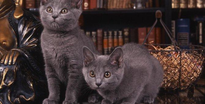 シャルトリューの子猫 特徴、性格、飼い方、価格まで