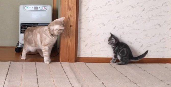 「気になる・・けど怖い」絶妙な距離感が面白い!初対面の日を迎えた先住猫と子猫ちゃん