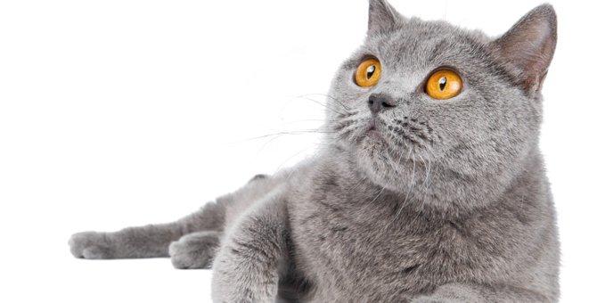 丸顔な猫の種類4選!特徴や性格、飼い方