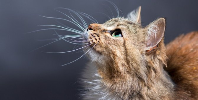 猫がヒゲを『ピーン』と伸ばす時の心理4選