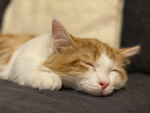 猫が寝ている飼い主の顔近くでゴロゴロいう理由3つ