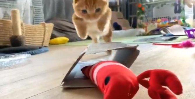 猫さんVS巨大エビの激闘!勝負の行方は…!?ツイッター民が見守る!