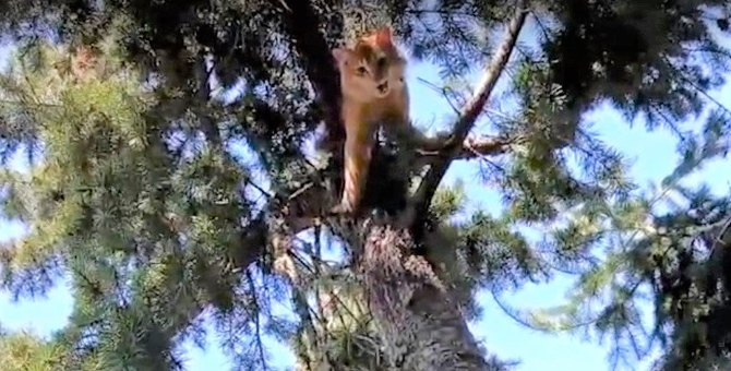 6日間木の上で立ち往生している猫。粘り気のある木に救助は苦戦します
