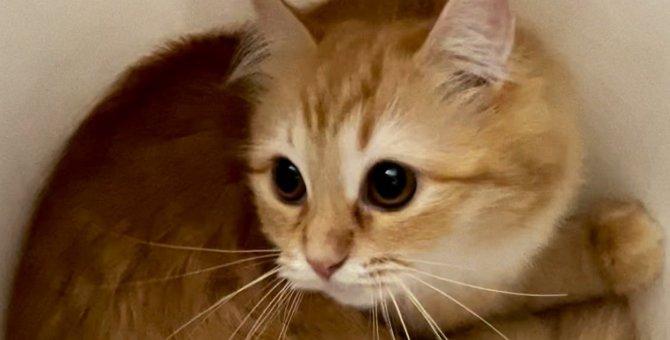【大人気】ふわふわ仕立ての『クロワッサン猫』発見される!