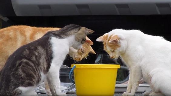バケツの中身が気になるにゃ。三猫寄れば文殊の知恵!