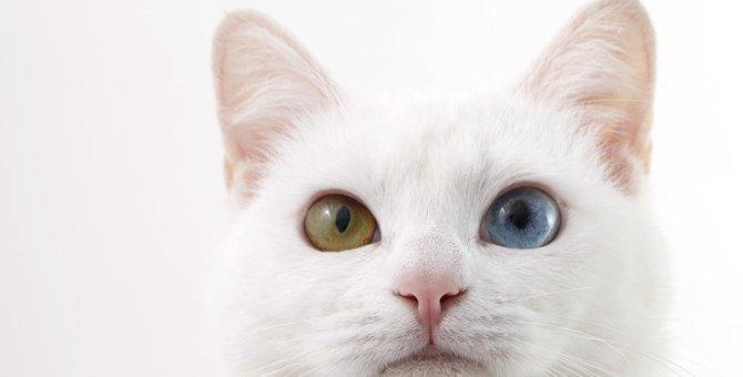 猫がオッドアイになる理由と聴覚障害について