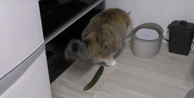 まさかの失敗!?猫にきゅうりドッキリを仕掛けてみた!