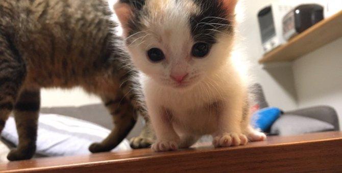 三毛猫の「あめちゃん」がやってきた!保護された子猫と家族になりました