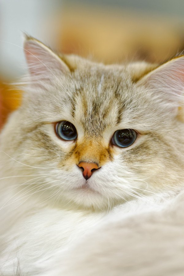 ラガマフィンはどんな猫?性格や特徴、お迎えする方法や飼い方まで
