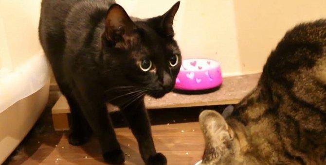 ごはんの取り合い?交互に食べる兄妹猫