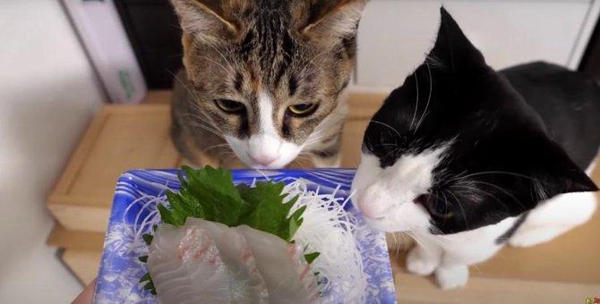 初めてのお刺身!高級真鯛に猫ちゃんもうなる♡