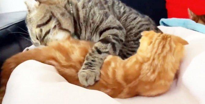 【赤ちゃんじゃないにゃ!】兄猫にお世話される猫さんが話題に