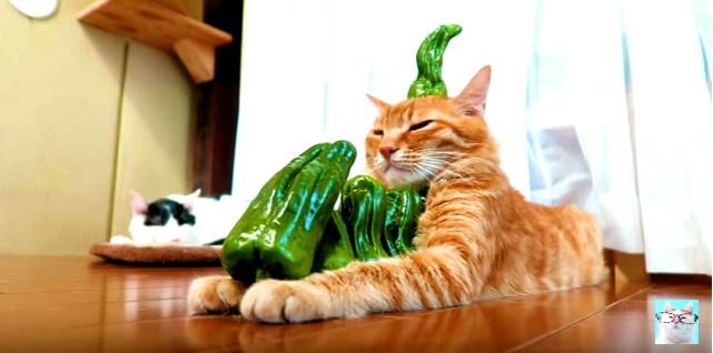見方によってはアートかも?手にピーマンを積まれ続けるシュールな猫(movie)