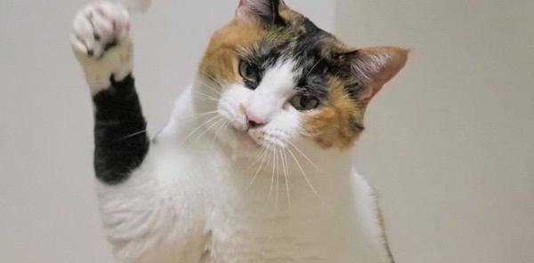 猫が『猫パンチ』する5つの心理と正しい対処法