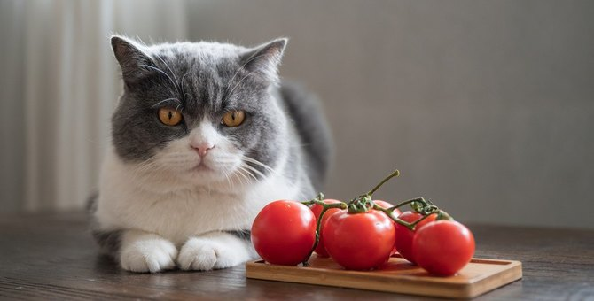 猫に『トマト』はOK?メリットとデメリットを解説