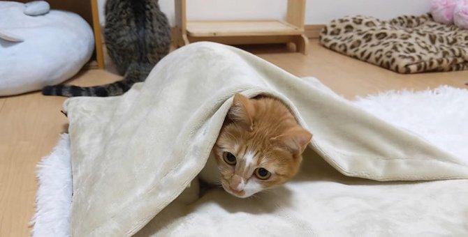 お布団でかくれんぼする猫ちゃん♡あれ…探してくれないの…?