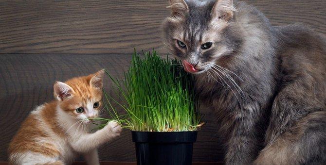猫草は必要?不必要?メリット・デメリットを覚えて上手に活用♪