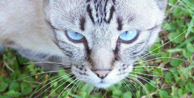 デザートリンクス(desert lynx)の特徴や飼う時の注意点