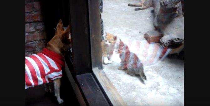 母猫強し!仔猫を見ていたワンコに飛びかかろうとする母猫