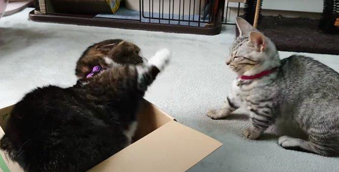 「箱は渡さない!」バトルになる子猫と先輩猫!