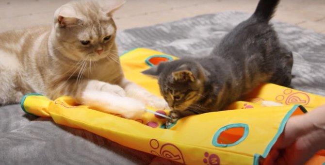 お姉ちゃんのプライド?控えめに遊ぶ猫ちゃんがかわいい♡