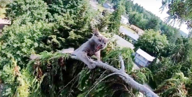 レスキューに怯え高木の先端へ…落ちそうな子猫のハラハラ救助