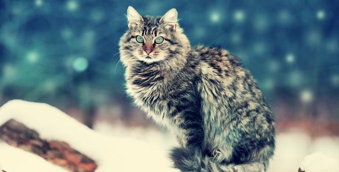 サイベリアンが猫アレルギーを起こしにくい理由