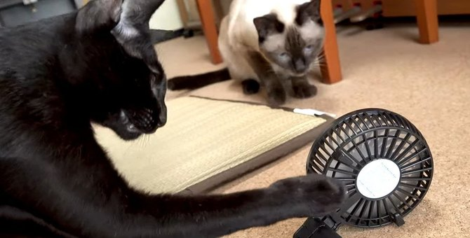 兄妹猫のタッグ!小さな扇風機に勝負を挑む