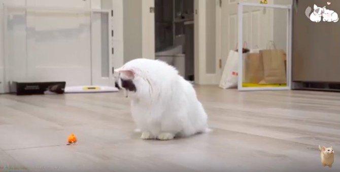短い足で一生懸命遊ぶ短足猫がただ可愛い件