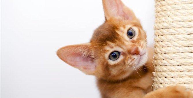 アビシニアンの子猫を選ぶ時のポイント