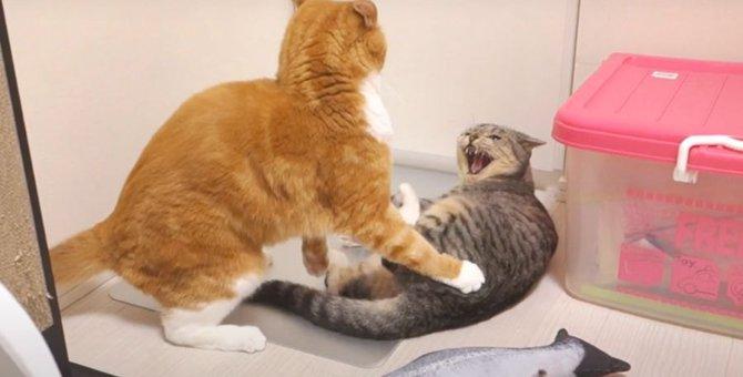 強気で挑む!オモチャをかけた猫ちゃんたちの戦い!