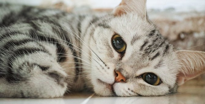 猫の性格や寿命は毛の長さで違う?