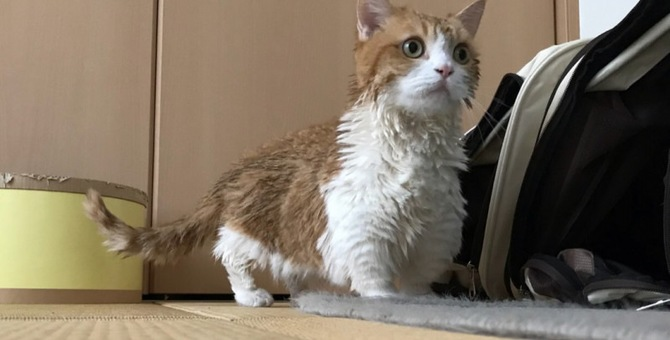 本日入浴DAY!!アイドル猫のマンチカン『茶太郎』と『きなこ』ちゃん