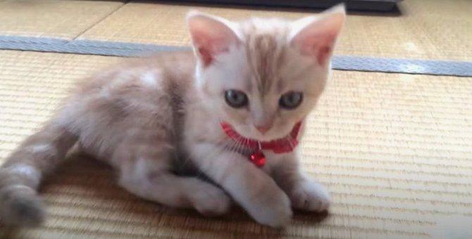 ぶかぶかなところもキュン♡初めて首輪をつけた子猫ちゃん!