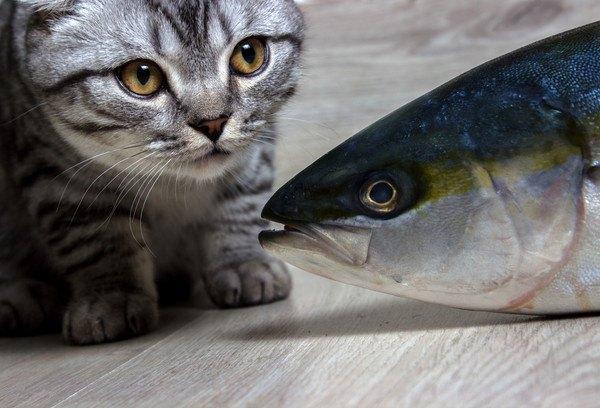 猫が青魚を食べると病気になる?食べると危険なお刺身とは