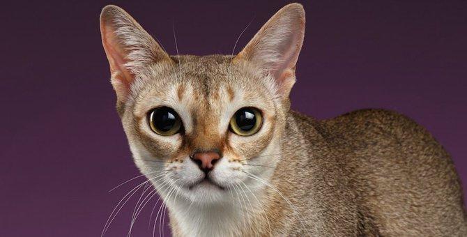 シンガポールの猫と言えば「シンガプーラ」性格や特徴、飼い方まで