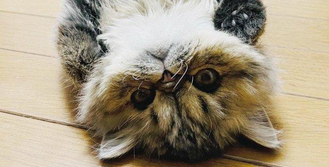 猫のお腹のたるみ『ルーズスキン』とは?その役割と脂肪との見分け方