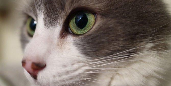 猫の目にある瞬膜の構造と気をつけるべき病気