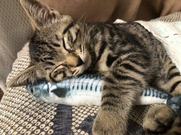 フジ猫は、キジトラの別名!呼ばれるようになった理由やルーツ