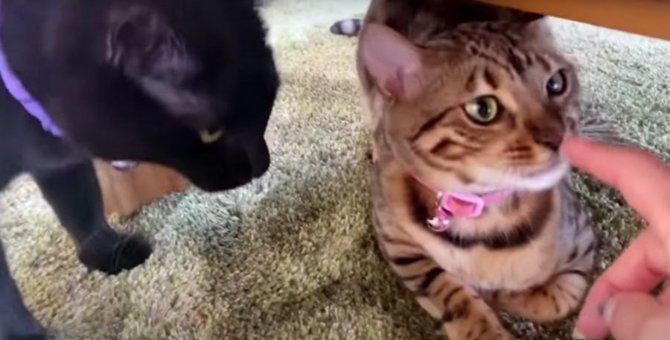ママさんに甘えたい♡争奪戦になる2匹の猫さん!