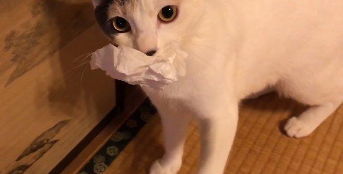 猫のぽてとさん『ティッシュ』を咥えて野獣化!?