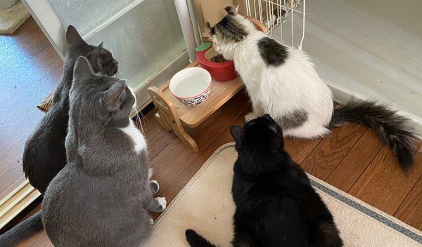 【感動】新人保護猫さんの「ご飯を見守る会」先住猫たちが結成!