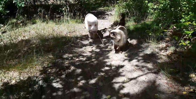 猫ちゃんに繋がるリードを持つのはなんと…豚さん?!