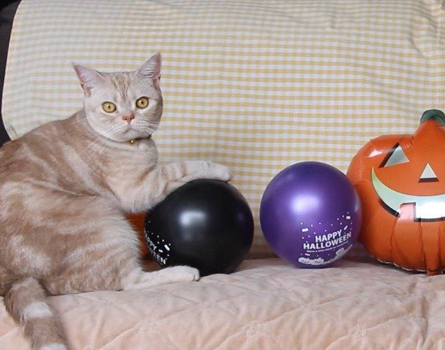 猫に風船!ハロウィンのカボチャより気になる