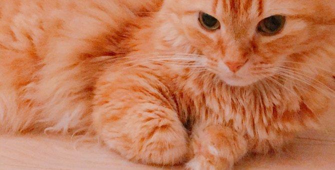 猫界のダックスフンド!マンチカンってどんな猫?